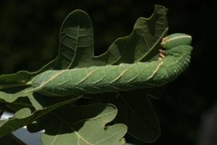 Marumba quercus L6