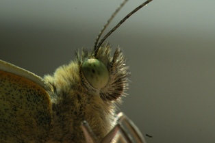 Pieris brassicae (Groot koolwitje)